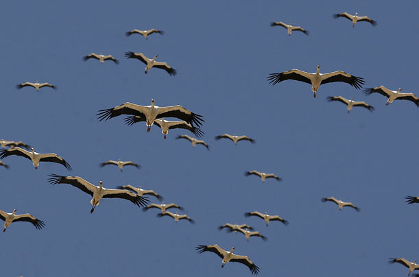 A flock of storks flies over the Judean Desert near the West Bank Jewish settlement of Kfar Adumim.