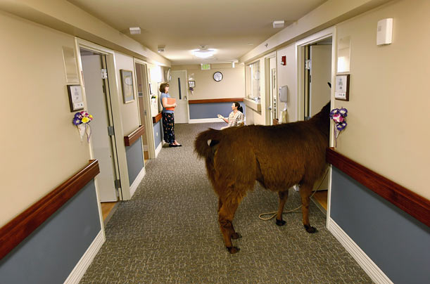 Pisco, a 13-year-old llama, enters the room of a terminally ill patient during a visit to the Hospice of Saint John in Lakewood, Colorado.