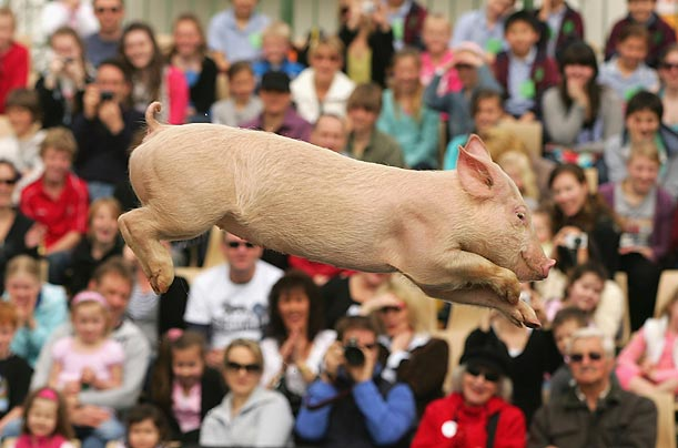 Miss Porky Pig flies through the air during the Pig Racing and Diving show at Melbourne Showgrounds, Australia.