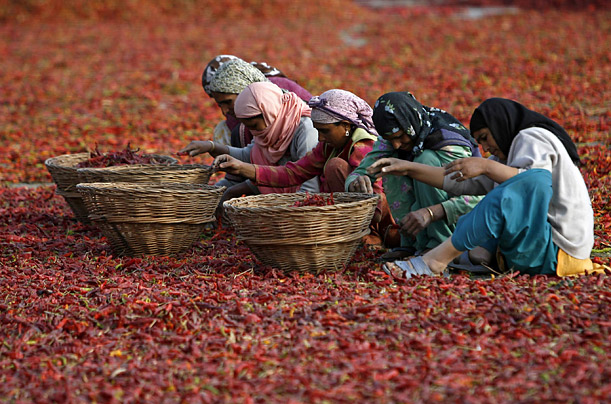 Kashmiri women in Srinagar sort red chillies during the drying process.