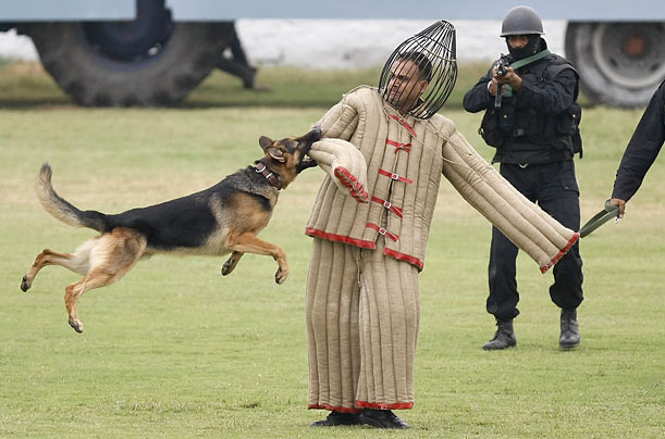 A dog attacks a mock intruder during a function to celebrate the 25th birthday of the Indian National Security Guard, an