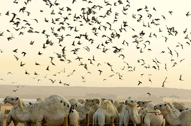 Pigeons and camels make an appearance at a cattle market near Riyadh, Saudi Arabia.