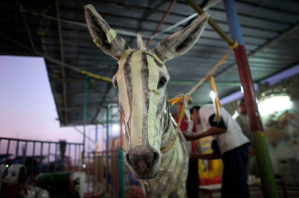 A Palestinian man paints a donkey to look like a zebra at the Marah Land Zoo in eastern Gaza City. Zebras must be smuggled in through tunnels and could have cost the owner more than $40,000 so hes went with this cheaper alternative instead.