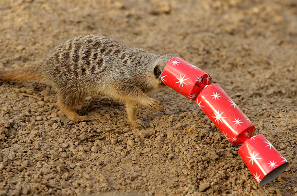A meerkat tries to eat mealworms stuffed inside a Christmas cracker at the London Zoo.