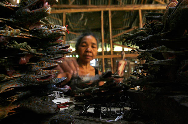 A woman prepares dead geckos for drying in Siwalan Tegal village in Probolinggo, Indonesia. The reptiles are believed to provide medicinal benefits.