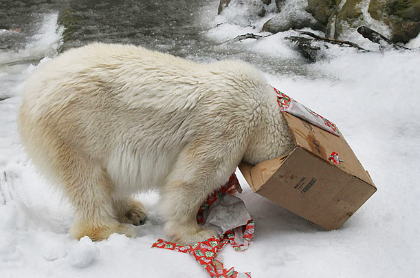 A polar bear named Pike buries his head in a gift box while playing in freshly blown snow at the San Francisco Zoo.