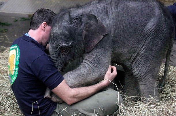 Baby elephant Jamuna Toni cuddles with a zookeeper at Munich's Hellabrunn Zoo.