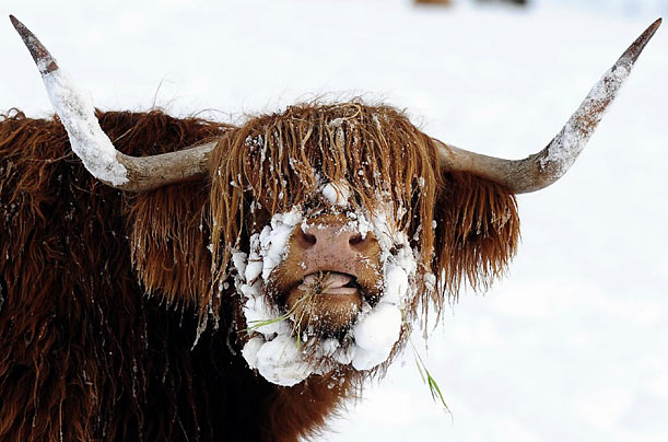 A Highland bovine feeds on the North Yorkshire moors of England.