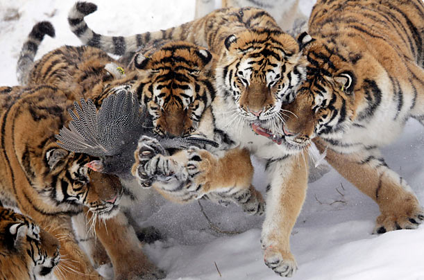 Endangered Siberian tigers fight for a wild bird at the Harbin Tiger Park in Harbin, China.