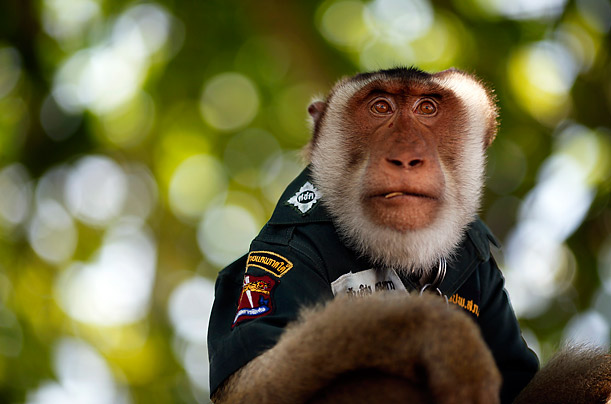 Santisuk (peace in Thai), a five-year-old pig-tailed macaque monkey, wears a police shirt as he rides atop a police patrol vehicle in the Saiburi district of Yala province in southern Thailand.