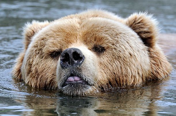 A bear cools down in the water at a zoo in Gelsenkirchen, Germany.