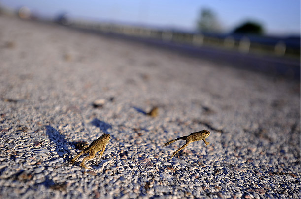 Frogs swarm across the Egnatia highway in northern Greece, most likely migrating to look for food.