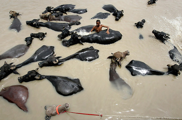 A boy washes buffaloes in a river in Larkana, Pakistan.