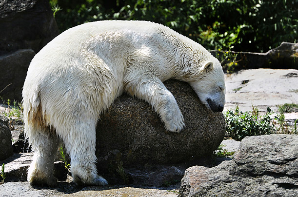 A polar bear dries off in the sun after coming out of the water in his enclosure at a zoo in Berlin.