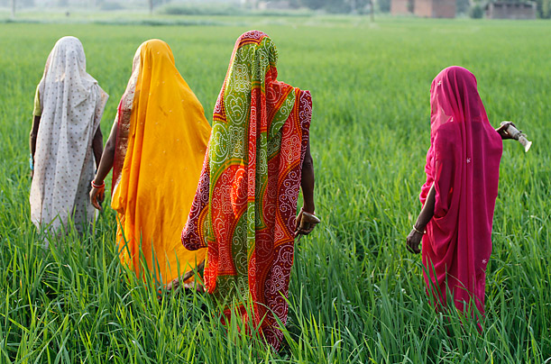 Indian farmers work in a paddy field 25 miles north of Allahabad.