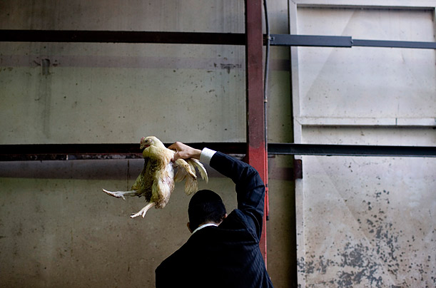 In Tel Aviv an ultra-Orthodox Jewish man swings a chicken over his head as part of the traditional Kaparot.  The act is believed to transfer one's sins into the chicken, and is done just before the holiday of Yom Kippur.