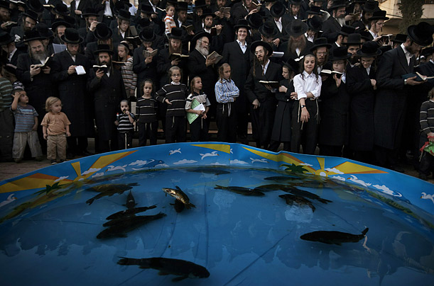 Ultra-Orthodox Jews pray in front of a pool filled live fish in the Israeli city of Bnei Brak, near Tel Aviv.  During this 'Tashlich' ritual sins are cast into the water just before Yom Kippur, the most solemn day in Jewish calendar.
