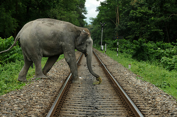 An elephant crosses a railway track, which runs through the Mahananda Wildlife sanctuary  in west Bengal.
