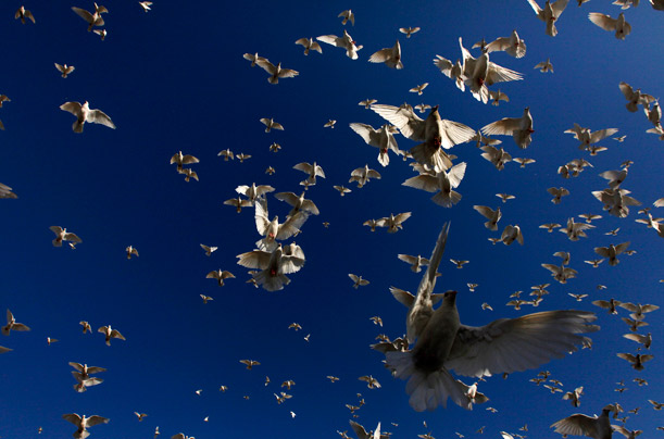 White pigeons fly at the shrine of Hazrat Ali in Mazar-e-Sharif, Afghanistan.