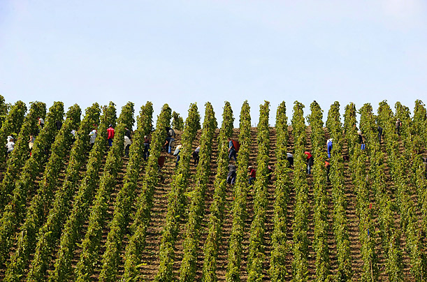 Grape pickers work in a French vineyard on the hillsides of Cote Rhone, in the city of Lyon.