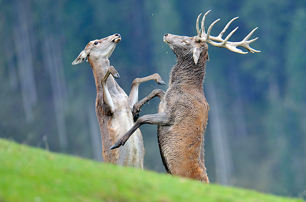 Two stags fight in a wildlife park in Aurach near Kitzbuehel, in the Austrian province of Tyrol.