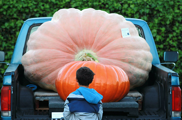 A young boy looks at giant pumpkins in the back of a pickup truck before the start of the 37th Annual Safeway World Championship Pumpkin Weigh-Off in Half Moon Bay, California.