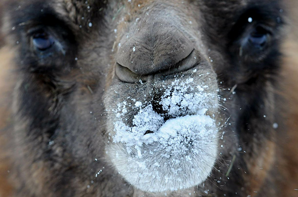 A Bactrian camel explores snow in its enclosure at the zoo in Frankfurt, Germany.