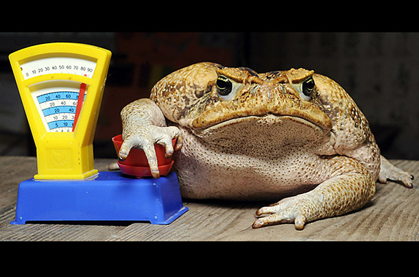 Cane toad Agathe rests on a toy scale during an inventory at the zoo in Hanover, central Germany. All inhabitants of the zoo are to be counted, weighed and measured.