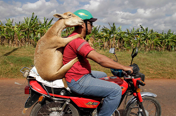 A lamb rides on the back of a motorcycle outside of Havana, Cuba.