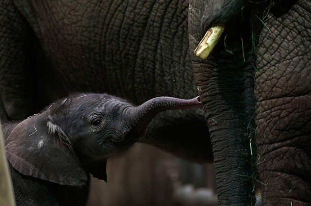 A newborn African elephant 'Shawu' stands beside her mother, 'Punda', at the zoo in Wuppertal, Germany.