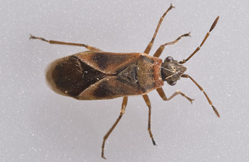 mystery insect found in london time. Black Bedroom Furniture Sets. Home Design Ideas