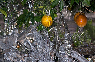 Florida Freeze Citrus Crop At Risk In Cold Weather Time