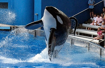 Why Did Tilikum the Killer Whale Attack a SeaWorld Trainer? - TIME