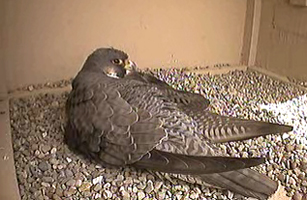 Peregrine Falcons In Columbus Ohio The Baby Hawks Are