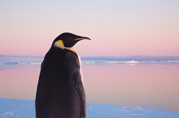 global warming threatens penguins photo essays time the emperor penguin the largest and most recognizable of the flightless birds is thought to be